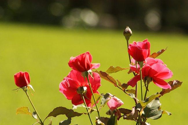 consejos-podar-rosales-1