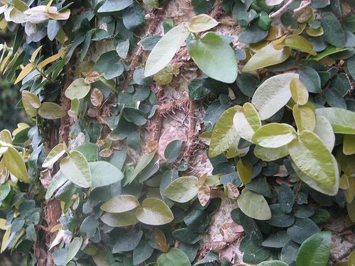 cuidados-cultivo-enamorada-muro-ficus-pumila-2