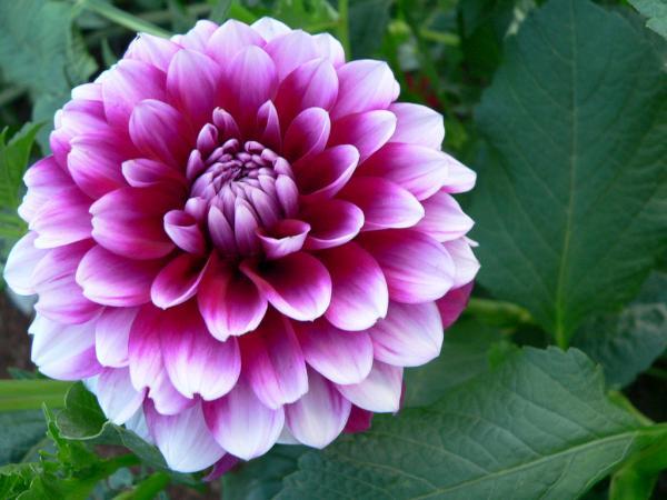 cultivo-dalia-dhalia-7