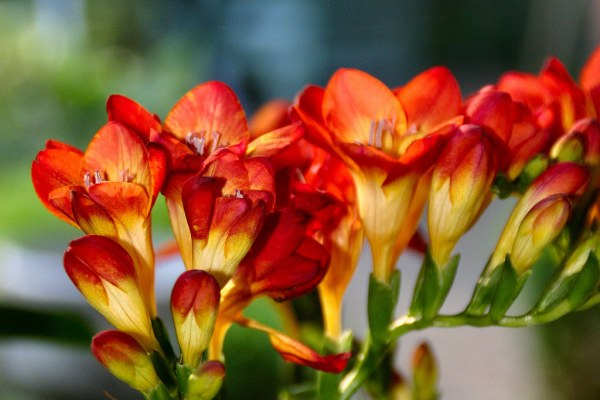 cultivo-de-fresias-2