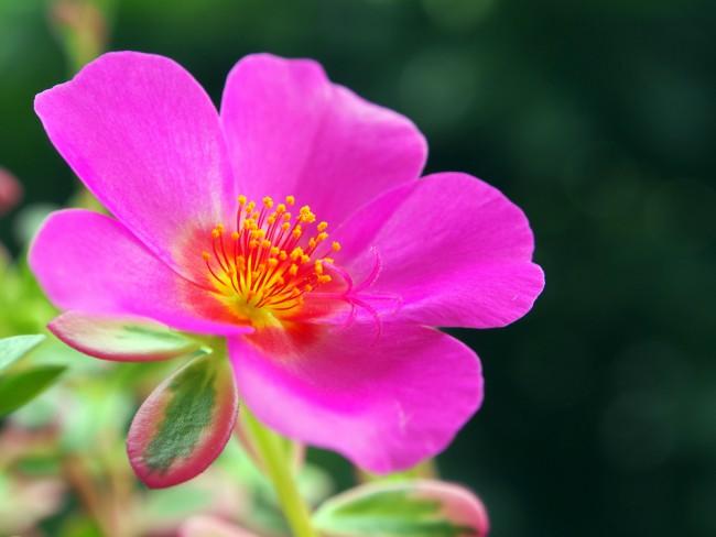 portulaca con flor fucsia