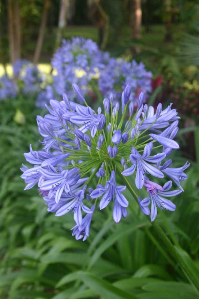 decoracion-jardines-agapanthus-flores-amor-lirio-africano-1