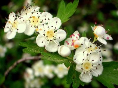 espino blanco flor 400x300 Espino Blanco, Espino Albar o Majuelo