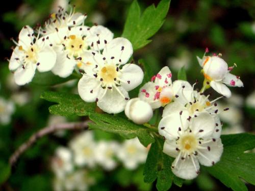 espino-blanco-flor