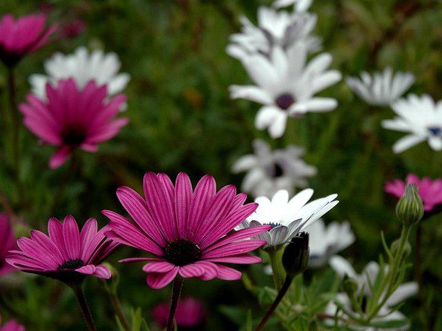 Flores para decoraci n de jardines dimorphoteca - Decoracion de jardines con plantas ...