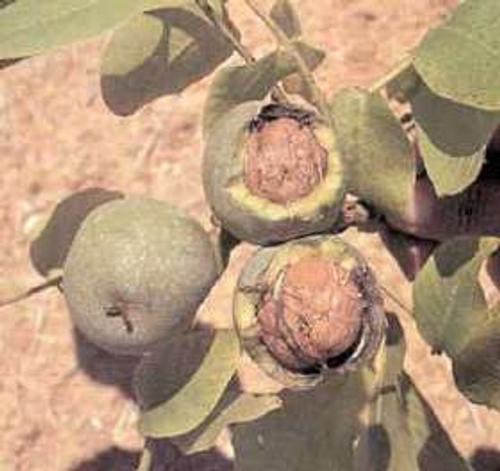 fruto nogal Arbol de Nogal