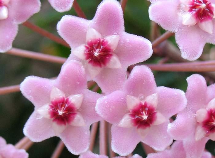 flores de hoya carnosa