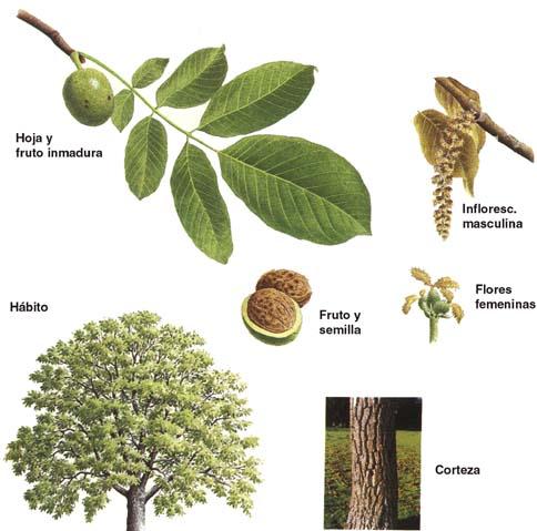Arbol de nogal for Significado de un arbol sin hojas