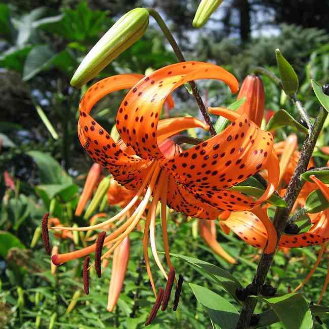 lilium azucena lirio cuidados hermosa planta 2 Lilium o Azucena, Cuidados de esta Preciosa Planta
