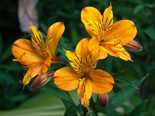 Plantas con Flores: Lirio de Campo