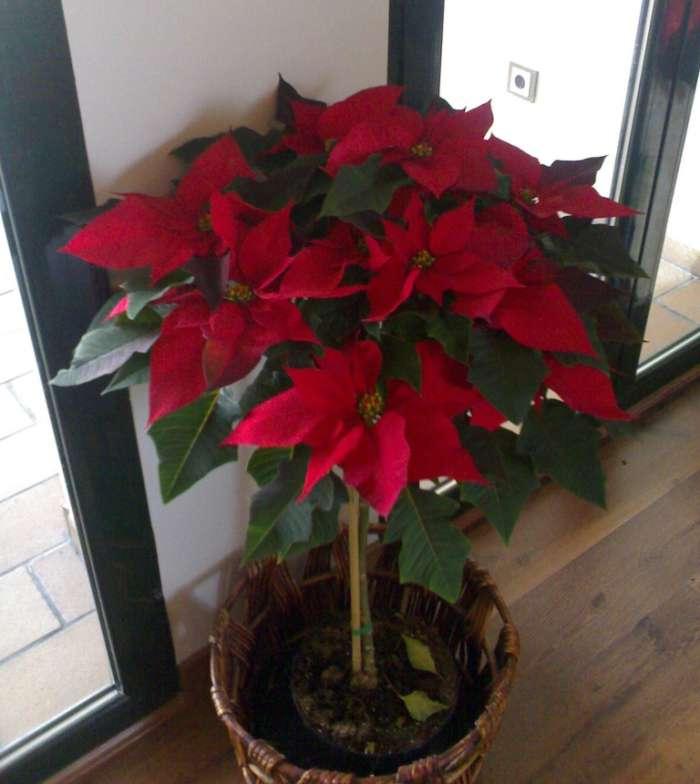 navidad-12ideas-decorar-casa-poinsetia