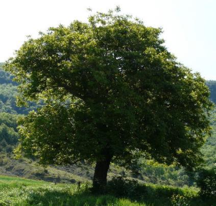 Arbol de nogal for Tipos de arboles y su significado