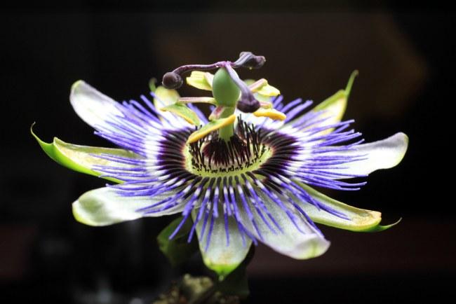 pasionaria flor de la pasion 21 Pasionaria o Flor de la Pasión