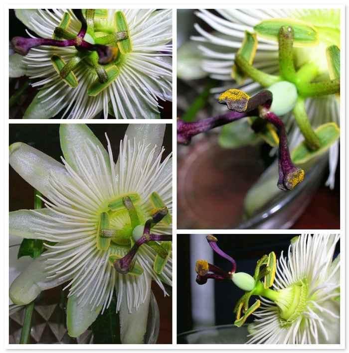 pasionaria flor de la pasion 4 Pasionaria o Flor de la Pasión
