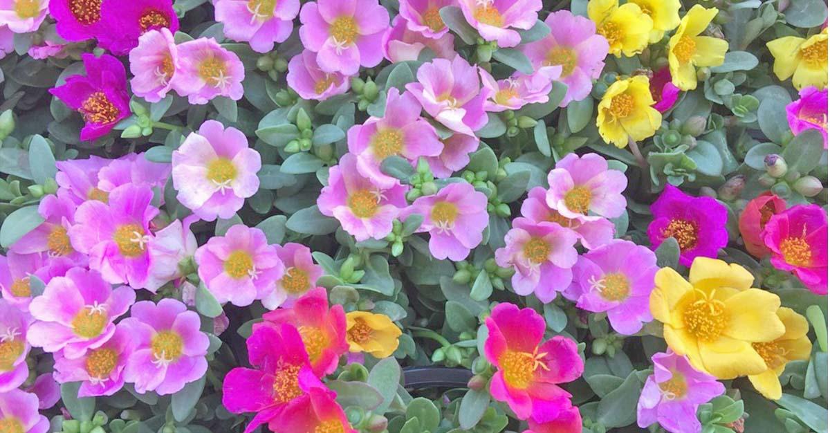 portulacas o verdolaga florecida