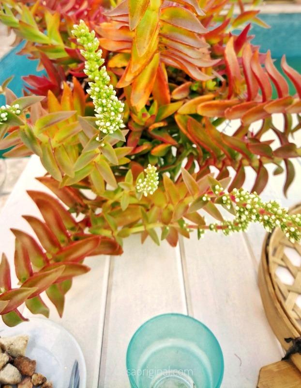 planta suculenta colorida