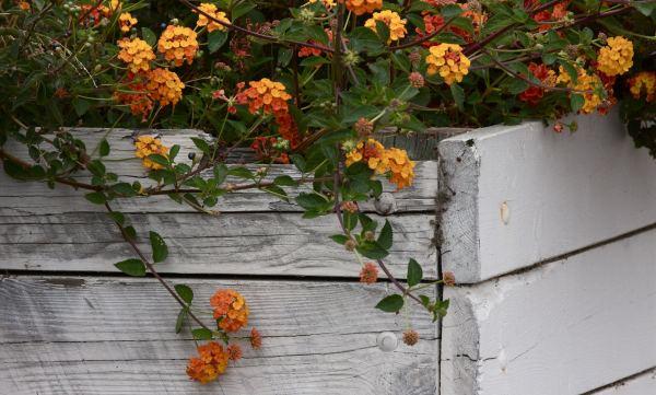Flores que florecem o ano todo v rias - Plantas exterior todo el ano ...