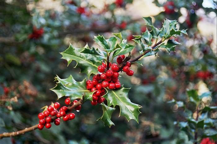 plantas-para-navidad-acebo-1