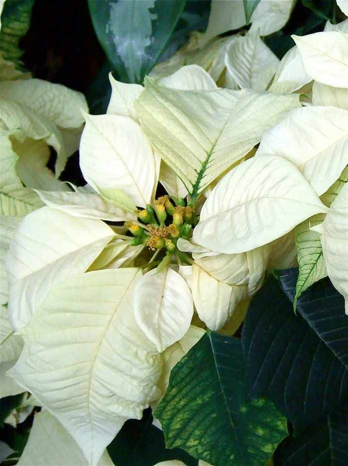 plantas-para-navidad-poinsettia-5