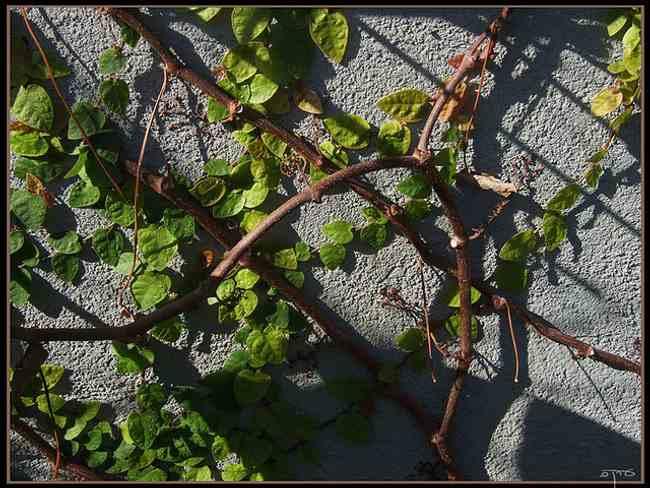Plantas trepadoras enamorada del muro o ficus pumila for Plantas trepadoras para muros