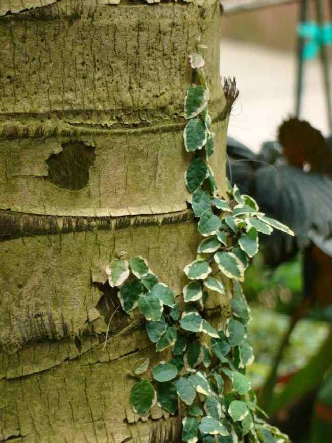 plantas trepadoras enamorada muro ficus pumila 2 Plantas Trepadoras: Enamorada del Muro o Ficus Pumila