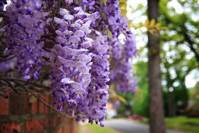 Plantas trepadoras con flores imagui for Glicina planta