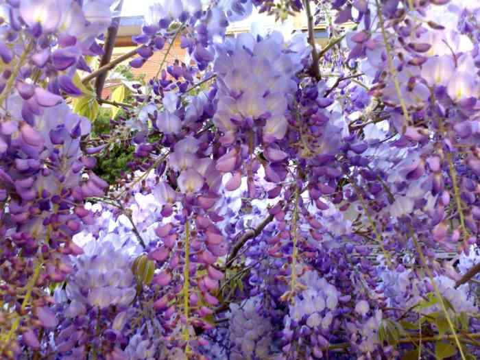 Consejos para decorar una terraza p gina 2 for Glicina planta