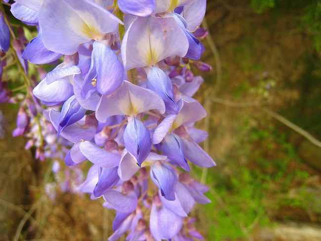 plantas-trepadoras-glicina-4