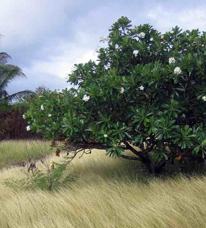 plumeria-frangipani-5